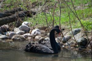 Black Swan : 08 by taeliac-stock