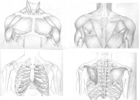 Muscle and Skeleton Study 1 by alesyira