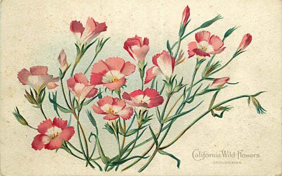 California Wild Flowers - Ground Pink by Yesterdays-Paper