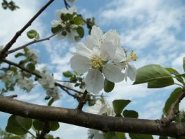 Sweet Apple Blossoms by LuciLuc