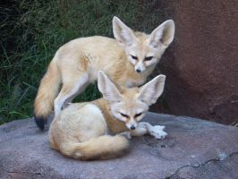 Fennec foxes by Lysendriel