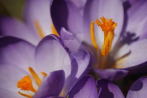 Crocus by poetcrystaldawn