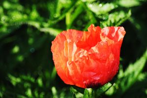Poppy 1 by Tyyourshoes