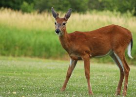 Young buck deer II by RinFlorin