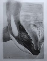 Surfacing Orca by Ebonenee