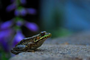 Frog by eva44