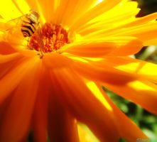 stripy yellow fly on yellow flower by IamNasher