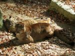 Two lazy cougars by Momotte2