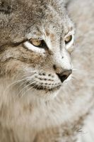 Lynx of Siberia by EliseJ-Photographie