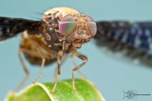 Picture-winged fly by ColinHuttonPhoto