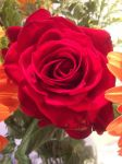 Passion of the rose by Friday-On-a-TuEsDaY