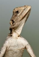 I think this is my best side !! - Agama Lizard by Jamie-MacArthur