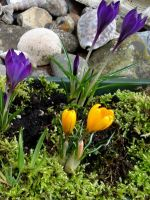 My Crocuses and Moss by Thelma1