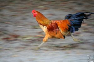 Rooster on the Move by kurtywompus