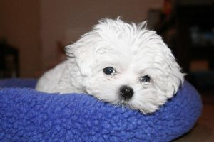 Puppy Cute White Face by rickydone