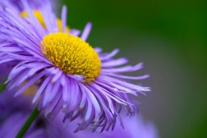 Purple Daisy by NorbertKocsis