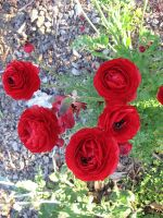 "Red Roses ""Poppys?"" Stock by Stock-By-Crystal"