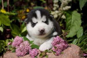 Little Husky by DeingeL-Dog-Stock