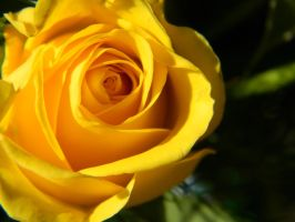 Yellow Rose 2 by naruto984
