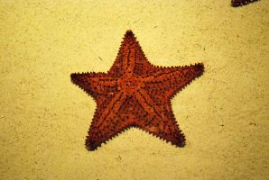 sea star 2 by meihua-stock