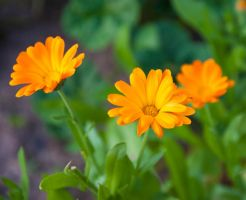 Calendula officinalis by elvenmaedchen