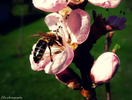Diligent Bee by Eliz-photography