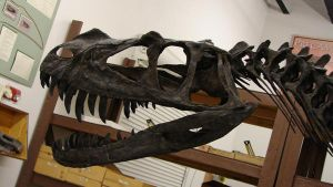Ceratosaurus juvenile photo by WaylonRowley