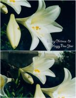 Christmas Lilies by KirstenLane