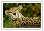 cheetah by photoflacky