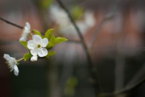 Cherry Blossoms IV by MaePhotography2010
