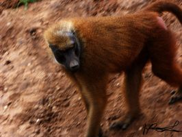 baboon by krazykel