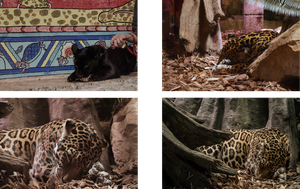 Leopards by Blackpassion777