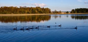 Swans in Autumn by DundeePhotographics