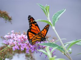 Monarch Butterfly by sockypoo