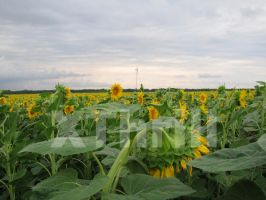 Sunflower field by XThrill