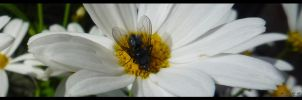 A fly and my daisies by knirket