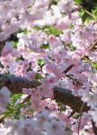 .: Cherry Blossom Wonderland :. by VictorianPrincess