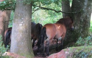 Exmoor Ponies by Oddity-1991
