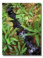 Sword Ferns by the Brook by WillFactorMedia