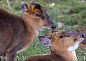 Mr. and Mrs. Muntjac by SilkenWinds