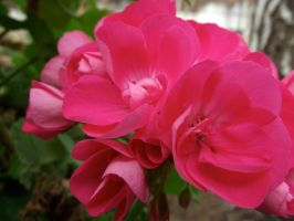 pink flower stock 03 by hp-abrasion