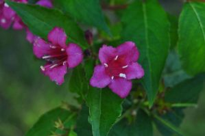 Weigela by xim0nfir3x