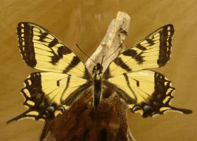 Tiger Swallowtail Butterfly 2 by FantasyStock