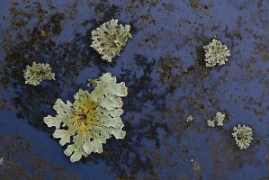 Lichen on Old Paint by organicvision