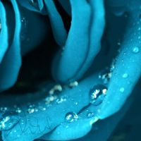 blue rose by xTive