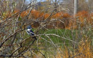Belted Kingfisher by PamplemousseCeil