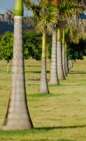 Palm Trees All in a Row by MogieG123