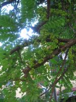 Amla Tree by AbstractWater