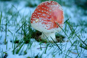 Toadstool In Snow by IQuitCountingStock