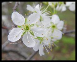 Mexican Plum Flowers by Cillana